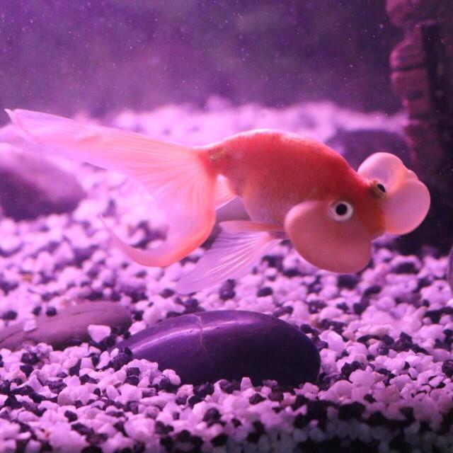 """""""Bubble eye goldfish"""" stock image"""