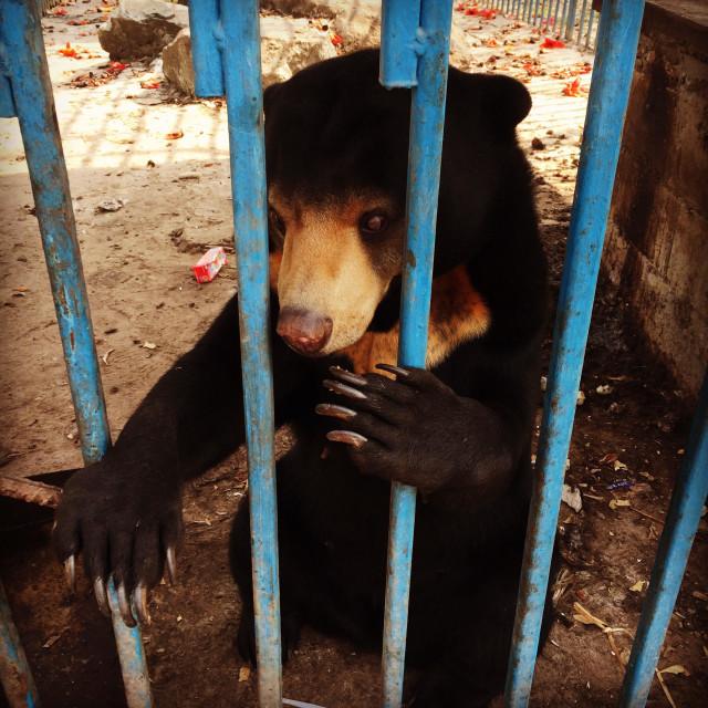 """A black bear in captivity in Laos, Asia"" stock image"