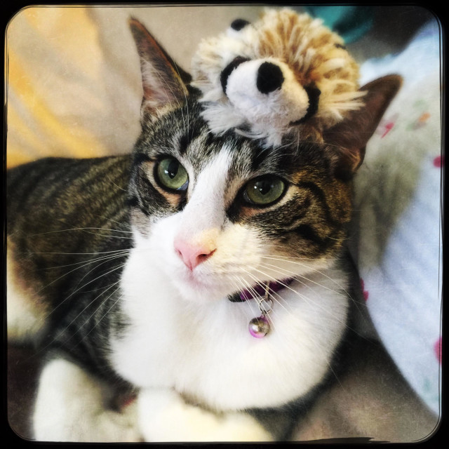 """""""Annoyed tabby and white cat with you on his head"""" stock image"""