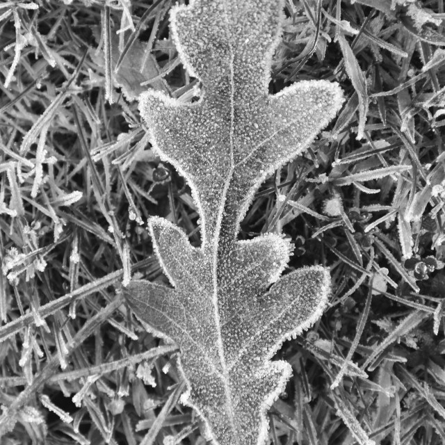 """Frosted oak leaf"" stock image"
