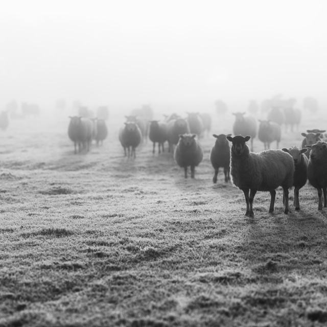 """Sheep in the morning Fog"" stock image"