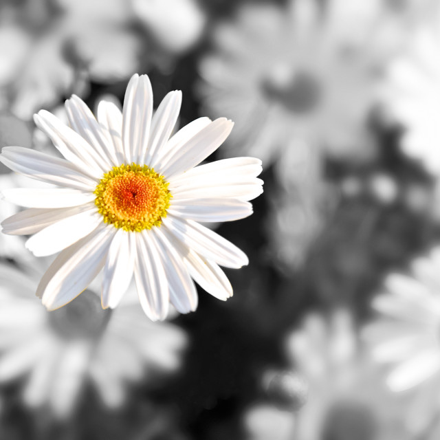 """Colorful daisy"" stock image"