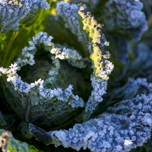 """Frost on Cabbage"" stock image"