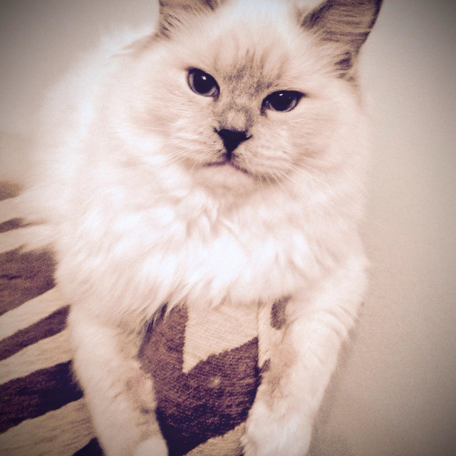 """""""Lilac point rag doll cat portrait"""" stock image"""