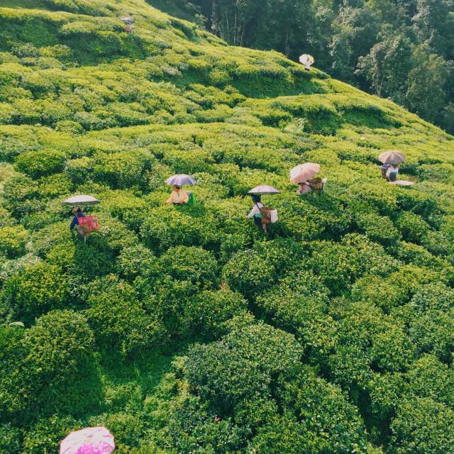 """""""Darjeeling tea garden from the above."""" stock image"""