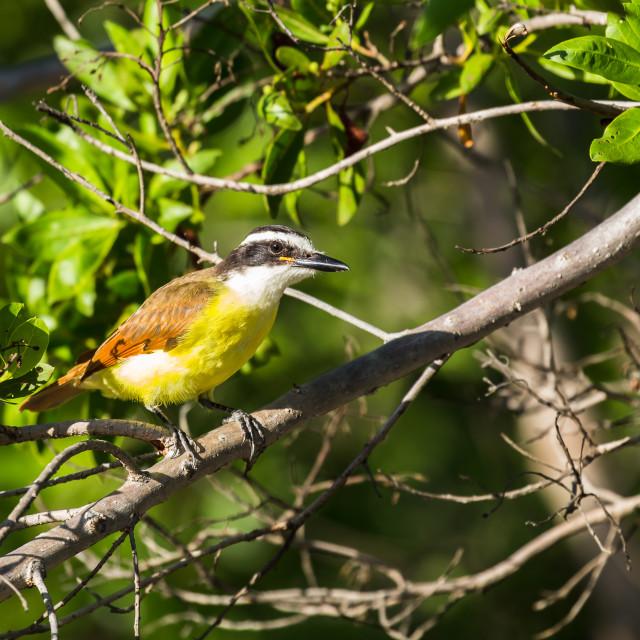 """Great kiskadee in a tree"" stock image"