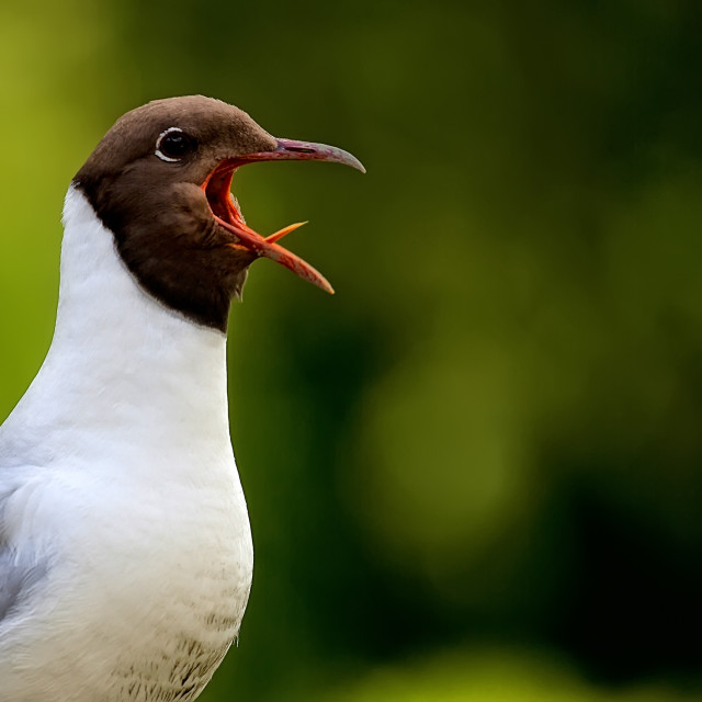 """""""Brown-headed Gull singing in the wild"""" stock image"""