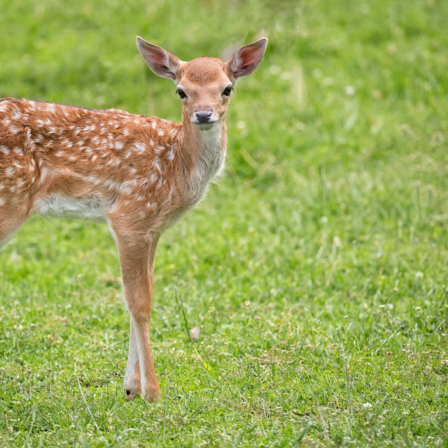 """Young fallow deer in a clearing"" stock image"