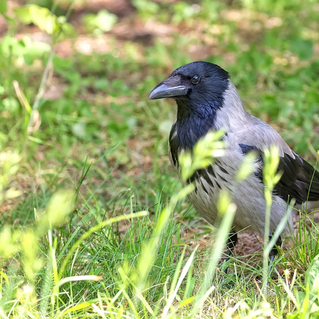 """""""Hooded crow in the wild"""" stock image"""