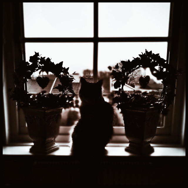 """""""This is my Maine coon cat starring out the window. Between two beautiful ivy flowers."""" stock image"""