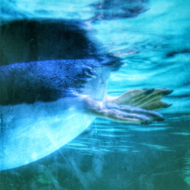 """Webbed feet of a swimming penguin."" stock image"