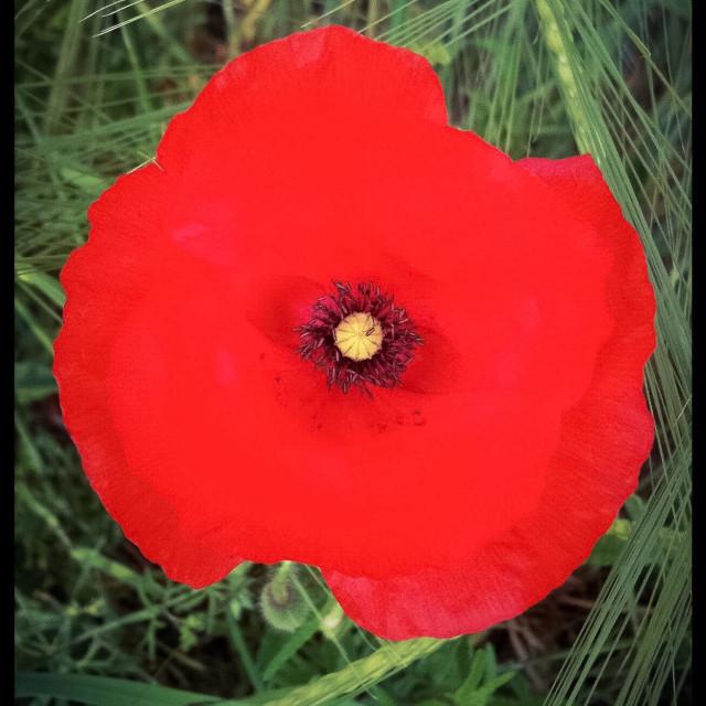 """""""Wild poppy"""" stock image"""