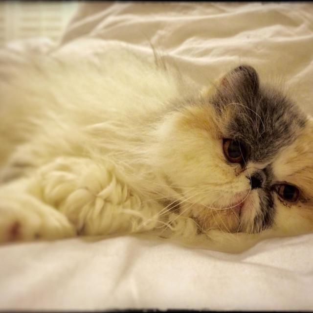 """Persian cat lying down"" stock image"