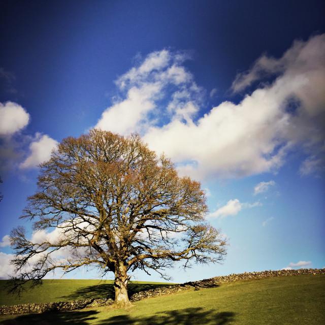 """""""A mature oak tree is seen in a field beside Loch Ken in Galloway, Scotland."""" stock image"""