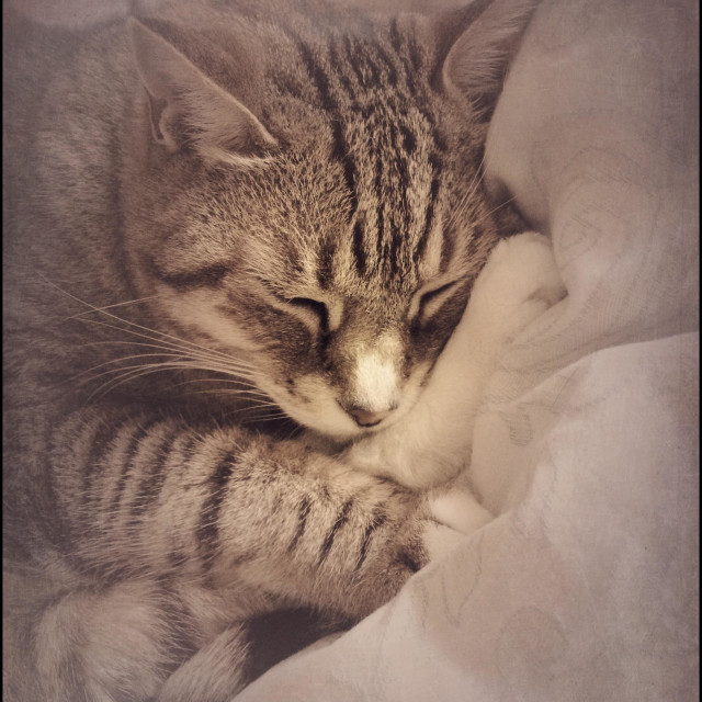 """Sleeping cat."" stock image"