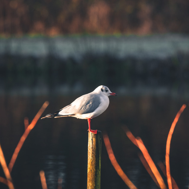 """""""Seagull on a wooden post"""" stock image"""