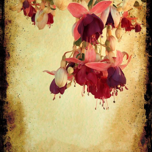 """Fuschia flowers"" stock image"