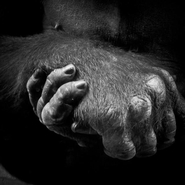 """Gorilla Hands"" stock image"