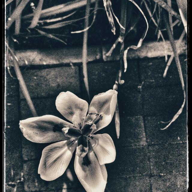 """Black and white photo of Iris flower."" stock image"