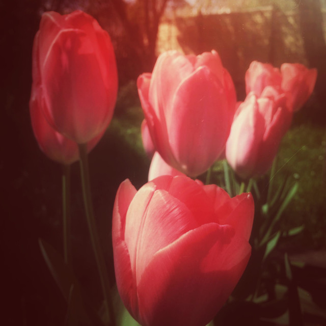 """""""Red Impression tulips growing in a garden."""" stock image"""