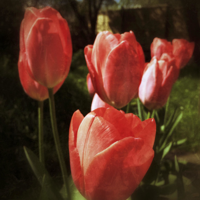 """""""Red Impression tulips growing in my garden."""" stock image"""