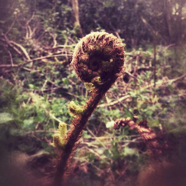 """""""Fern frond unfurling, Hampshire, England, United Kingdom."""" stock image"""