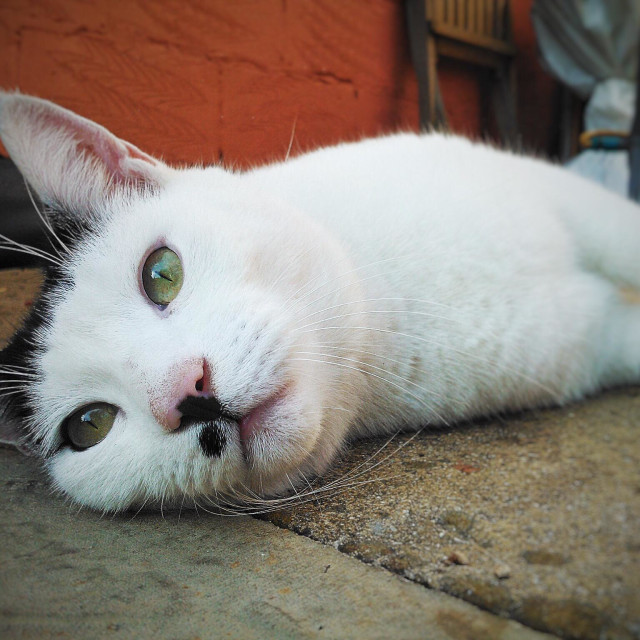 """""""Relaxing White Cat"""" stock image"""