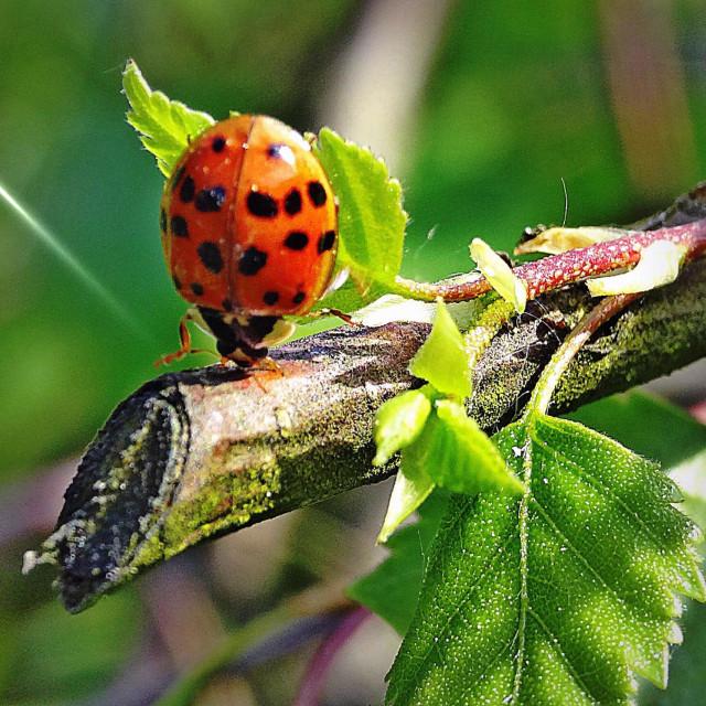 """...very sportive ladybug...!"" stock image"