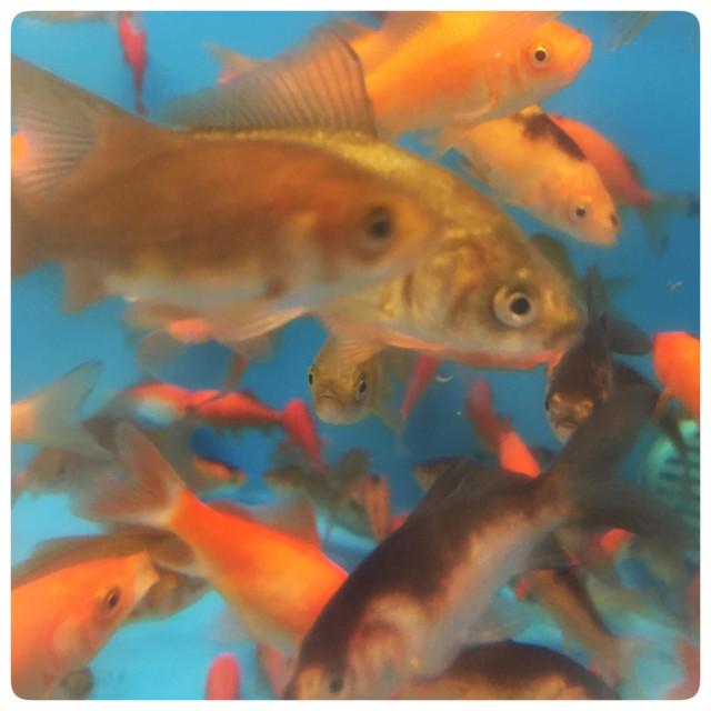 """Goldfish looking at you"" stock image"