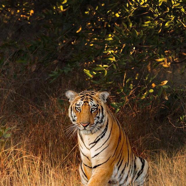 """Bengal Tiger..."" stock image"