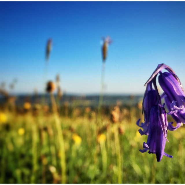 """Bluebell in Somerset"" stock image"