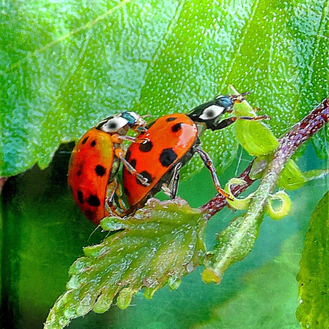"""""""...two lucky happy bugs in action..."""" stock image"""