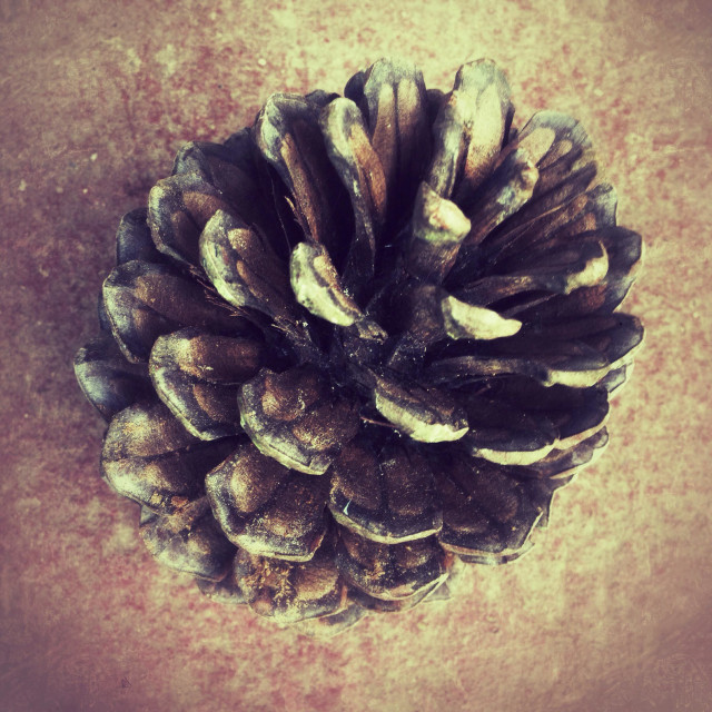 """Large pine cone"" stock image"