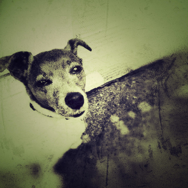 """""""Jack Russell looking at camera, vintage shot"""" stock image"""