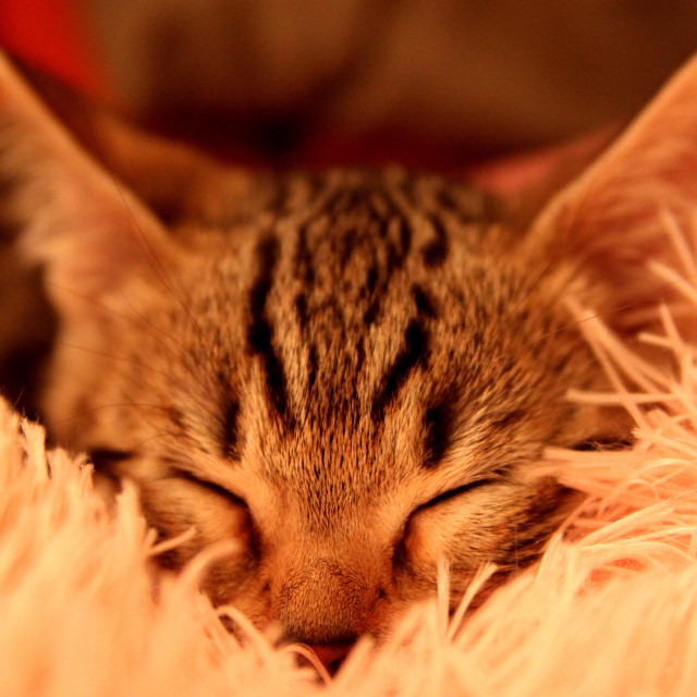 """Kitten sleeping on the pillow"" stock image"