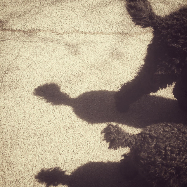 """""""Rear ends and tails of two black poodles and their shadows in vintage monochrome look"""" stock image"""