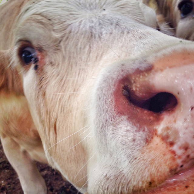 """""""Cows face close up"""" stock image"""