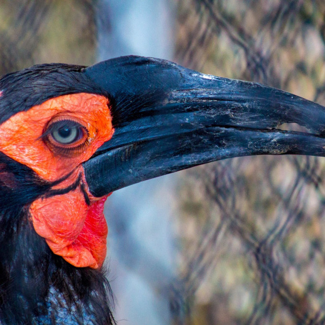 """""""Southern Ground Hornbill in aviary enclosure"""" stock image"""