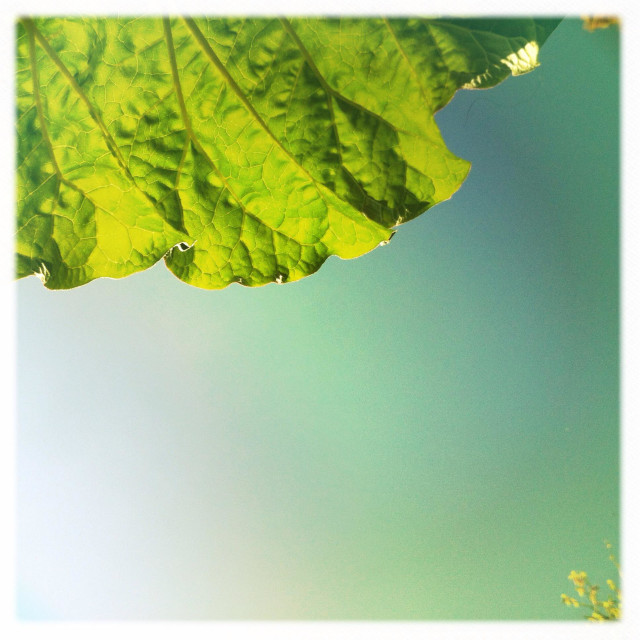"""The underside of a rhubarb leaf against a clear sky"" stock image"