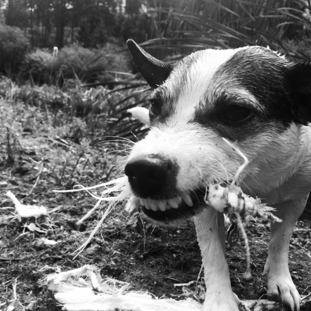 """""""Dog chewing on a stick with her teeth showing. In black and white."""" stock image"""