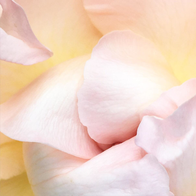"""""""Pink and yellow rose blossom"""" stock image"""