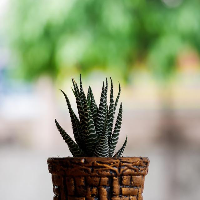 """""""Cactus in cobber pot"""" stock image"""
