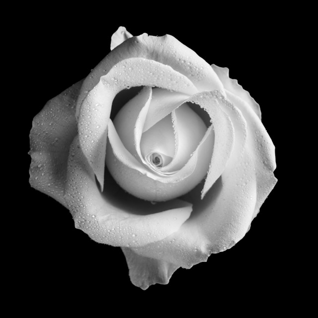 """A White Rose"" stock image"