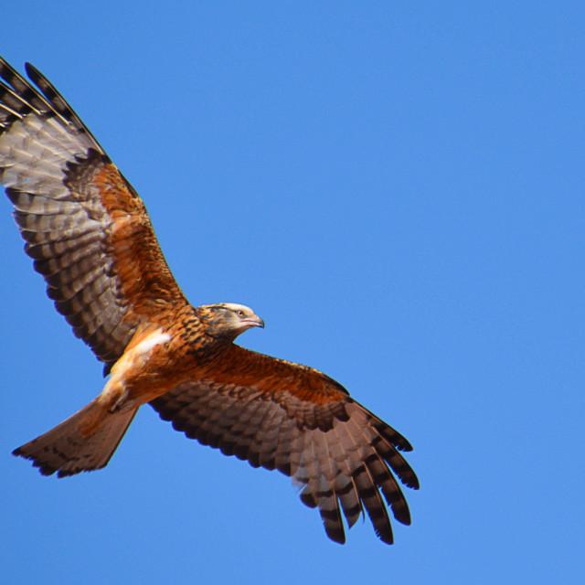 """Wedge-tailed Eagle"" stock image"