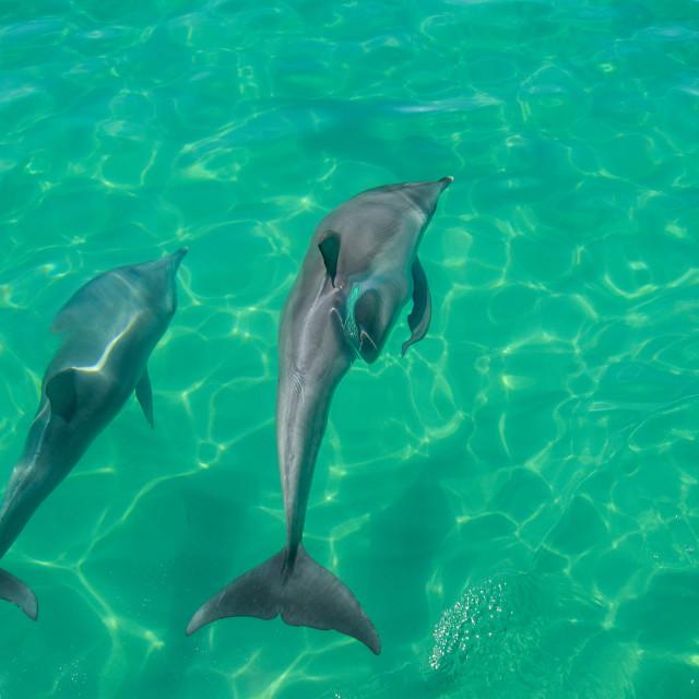 """Wild Dolphins"" stock image"