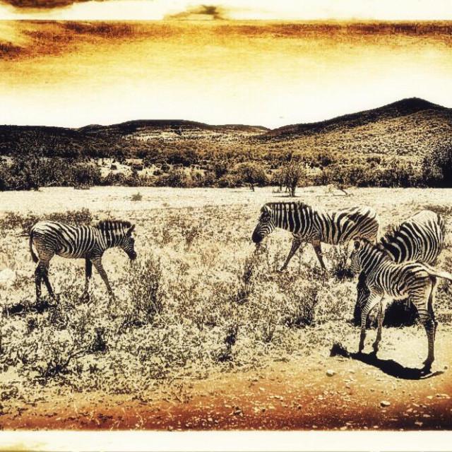 """""""Burchell's zebra, Hluhluwe-iMfolozi Park, KwaZulu Natal province, South Africa"""" stock image"""