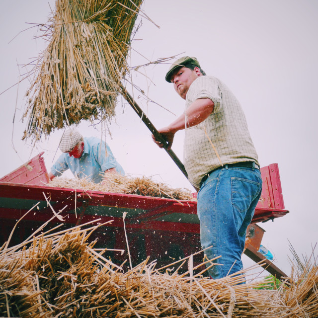 """Farmer loading old thresher"" stock image"