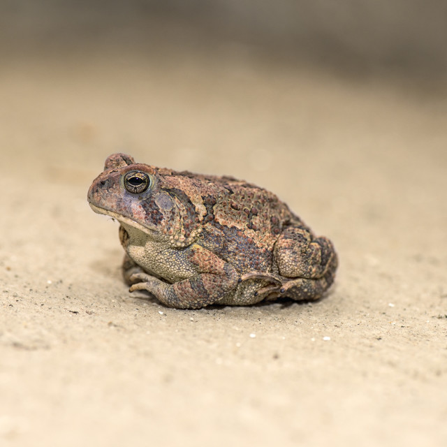 """""""Toad"""" stock image"""