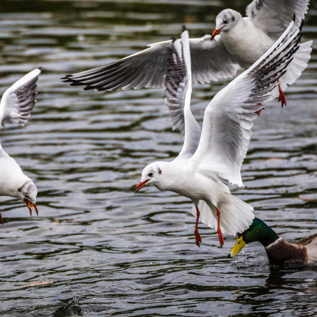 """Sea gulls hovering"" stock image"
