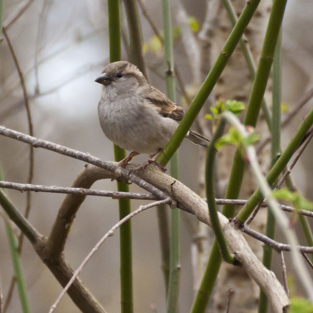 """Portrait of sparrow standing on a twig"" stock image"